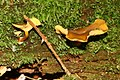 Chrysomphalina chrysophylla 20090811wa.JPG