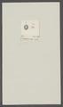 Chthamalus stellatus - - Print - Iconographia Zoologica - Special Collections University of Amsterdam - UBAINV0274 101 02 0041.tif