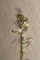Circaea lutetiana (36356908492).jpg