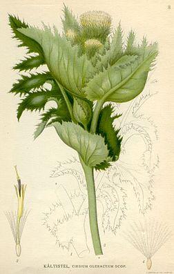 Kohldistel (Cirsium oleraceum)