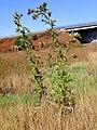 Cirsium vulgare Habitus 15August2009 LagunadeCaracuel.jpg