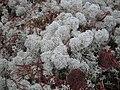 Cladonia stellaris in Satakunta.jpg