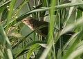 Clamorous Reed Warbler (Acrocephalus stentoreus) in AP W IMG 4053.jpg