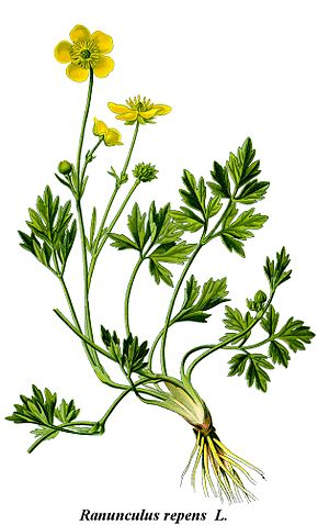 Description de l'image Cleaned-Illustration Ranunculus repens.jpg.