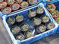 Clematis hirsutissima - Flickr - peganum (3).jpg