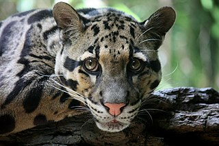 Clouded leopard species of mammal found from the Himalayan foothills through mainland Southeast Asia into China