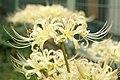 Cluster-Amaryllis (WHITE) - panoramio - jack9000.jpg