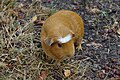 Cochon d'Inde (Cavia porcellus) (2).jpg