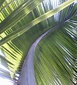 Coconut tree leaf.jpg