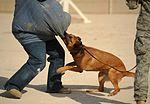 Cold, wet sensors, Dogs have nose for defense 120119-F-MS171-205.jpg