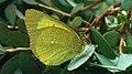 Colias palaeno ♂ - Moorland clouded yellow (male) - Торфянниковая желтушка (самец) (48128298808).jpg