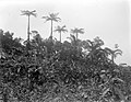 Collectie Nationaal Museum van Wereldculturen TM-10021131 Boomvarens en palmen op Saba Saba -Nederlandse Antillen fotograaf niet bekend.jpg