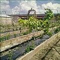 Collectie Nationaal Museum van Wereldculturen TM-20029587 Het kweken van druiven Aruba Boy Lawson (Fotograaf).jpg