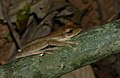 Collett's Tree Frog (Polypedates colletti) (8677305967).jpg
