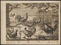 Columba livia - 1700-1880 - Print - Iconographia Zoologica - Special Collections University of Amsterdam - UBA01 IZ17000286.tif