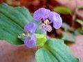 Commelina benghalensis (tropical spiderwort) at Madhurawada.JPG
