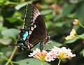 Common Banded Peacock (Papilio crino) (6157795371).jpg