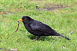 Common Blackbird (turdus merula).jpg