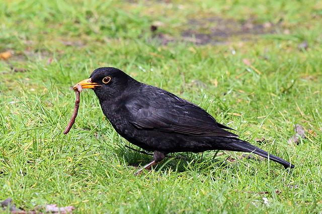 Drozd čierny - samček