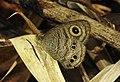 Common Fivering Ypthima baldus by Dr. Raju Kasambe DSCN1100 (2).jpg
