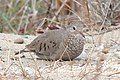 Common Ground Dove, Tawas Point, Michigan 01.jpg