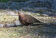Common Ground Dove.jpg