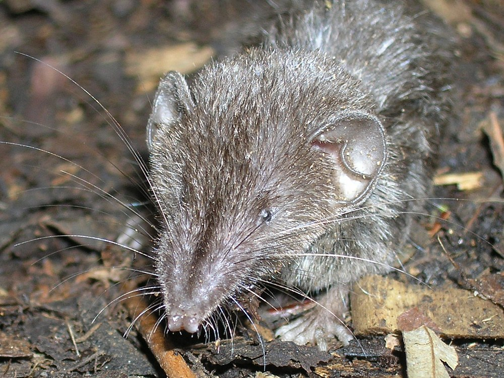 The average adult weight of a Mindanao shrew is 10 grams (0.02 lbs)