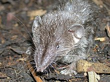 Common Mindanao shrew.jpg