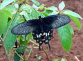Common Mormon (Papilio polytes) at IG Zoo Park 01.JPG
