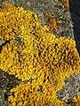 Common Orange Lichen - geograph.org.uk - 484738.jpg