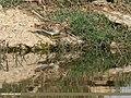 Common Snipe (Gallinago gallinago) (34250383826).jpg