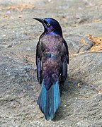 Common grackle iridescence in CP (43218).jpg