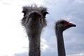 Common ostrich, iran شترمرغ در ایران 02.jpg