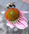 Coneflower with Bee 2000px.jpg