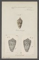 Conus acuminatus - - Print - Iconographia Zoologica - Special Collections University of Amsterdam - UBAINV0274 086 07 0021.tif