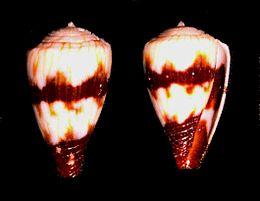 Conus miles (juvenile).shell