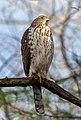 Cooper's hawk in Prospect Park (22508).jpg