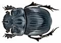 Copris lunaris (Linné, 1758) male (15582233562).png