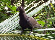 A brown parrot
