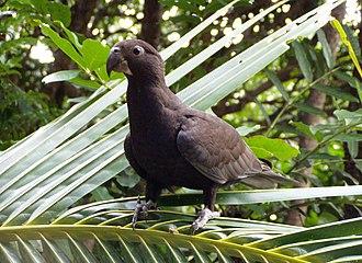 Greater vasa parrot - In Madagascar