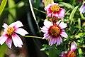 Coreopsis rosea Sweet Dreams 7zz.jpg