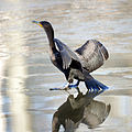 Cormorant on the Ice (6654038927).jpg
