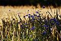 Cornflowers - panoramio.jpg