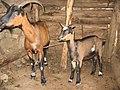 Corse chèvres.jpg