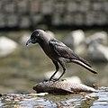 Corvus splendens @ Kuala Lumpur (4s, p9).jpg