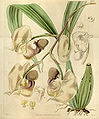 Coryanthes maculata (as Coryanthes maculata var. parkeri) - Curtis' 66 (N.S. 13) pl. 3747 (1840).jpg