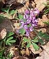 Corydalis solida cm01.jpg