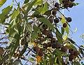 Corymbia cliftoniana.jpg