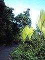 Corypha umbraculifera 12.JPG