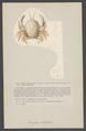 Corystes ocellatus - - Print - Iconographia Zoologica - Special Collections University of Amsterdam - UBAINV0274 006 01 0049.tif